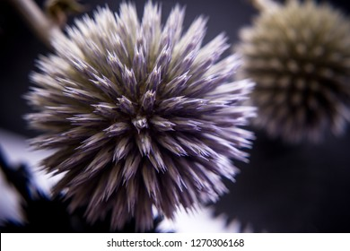 Thistle spiked ball studies close-up, soft focus