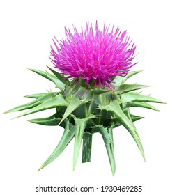 The thistle is spotty, a flower, on Latin (Silybum marianum L.) from family of slozhnotsvetny represents generally biannual plant with high simple or we slabovetvyashchitsya by a stalk.
