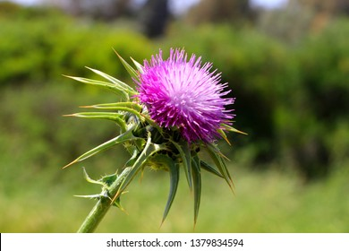 Thistle -  symbol of Scotland. A Thistle flowering on a sunny day. Milk thistle flowerhead.