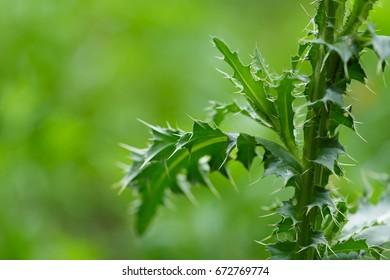 Thistle thorns