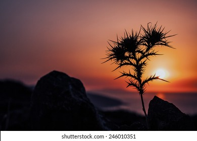 Thistle under sunset of Crete