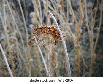 Thistle Weed, Musk (Carduus nutans) or Scotch (Onopordum, acanthium) in the fall, withered and dry, dead, Close up, Macro view, in Yellow Fork and Rose Canyon, Utah by the Wasatch Mountains