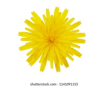 Thistle yellow flower isolated on white background
