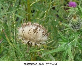 Thistledown Head Among Flowers