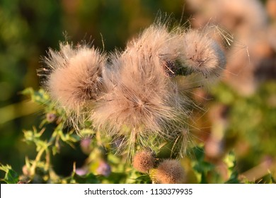 Thistledown seed dispersal after bloom