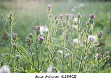 Thistles in bloom at sunset. The Thistle is national symbol of Scotland