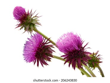 thistles flower and bud isolated on white
