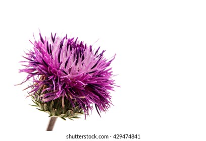 thistles flower isolated on white background