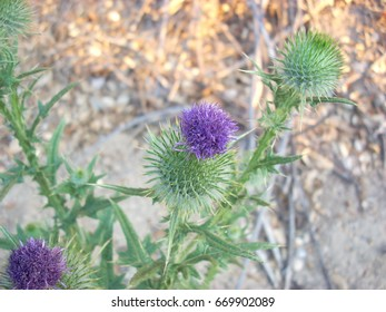 Thistles, harsh but beautiful.