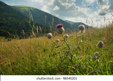 thistles on a meadow, hills in background