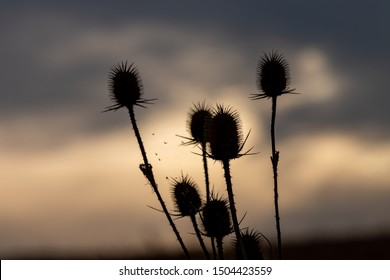 Thistles silhouette against a beautiful sunset