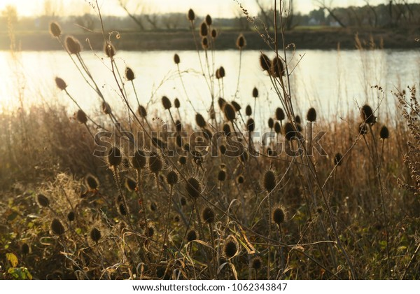 thistles in the sunset