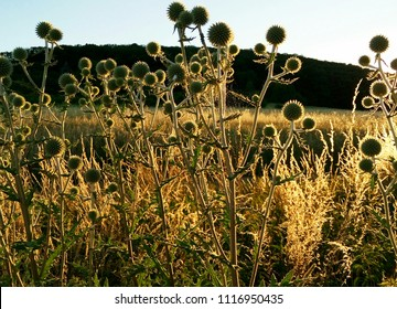 Thistles in the sunset time