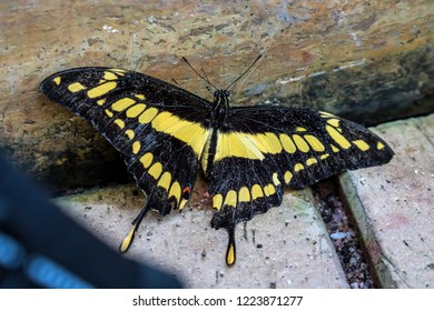 Thoas or King swallowtail butterfly (Papilio Thoas) most beautiful yellow stripe with victory shape wings isolated on white background, exotic creature