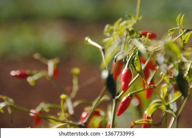Thomas Jefferson garden peppers