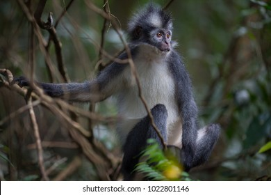 Thomas' Leaf Monkey also known as Sumatran Grizzled Langur is endemic to the island of Sumatra in Indonesia