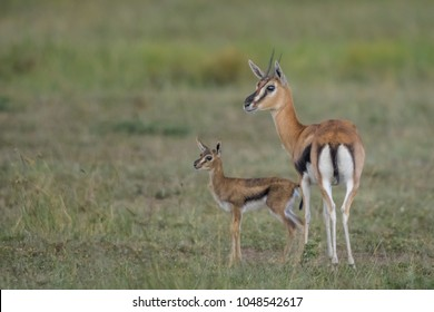 Baby Gazelle HD Stock Images | Shutterstock