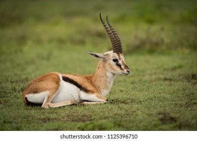 Thomson gazelle lying down on grassy plain