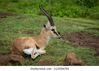 Thomson gazelle lying on grass looking right
