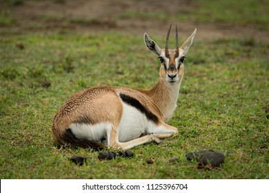 Thomson gazelle lying on grass facing camera