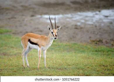 Thomson Gazelle male on the plains and savannah of Serengeti, Masai Mara and Ngorongoro crater in Kenya and Tanzania, East-Africa. African safari trip to wildlife