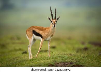 Thomson gazelle moves foreleg back on mound