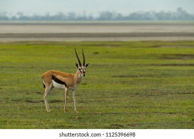 Thomson gazelle on grass with sandflats behind