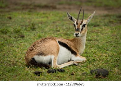 Thomson gazelle on grass with turned head