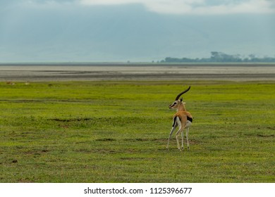 Thomson gazelle on grassland with sandflats behind