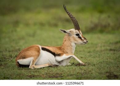 Thomson gazelle on grassy plain lying down
