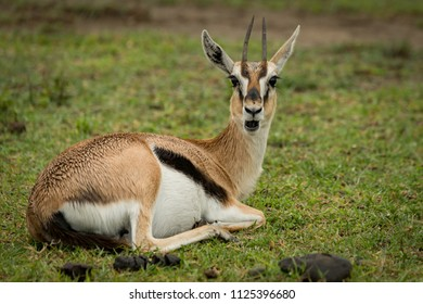 Thomson gazelle opens mouth lying on grass