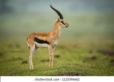 Thomson gazelle standing in profile on mound