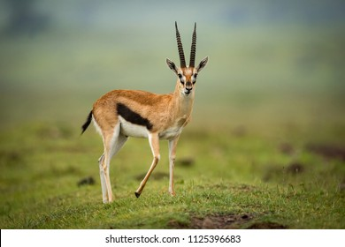 Thomson gazelle stands facing camera on mound