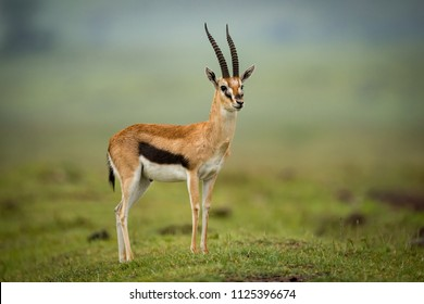 Thomson gazelle stands head turned on mound