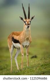 Thomson gazelle stares ahead on grassy slope