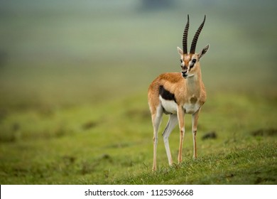 Thomson gazelle turns head on grassy slope