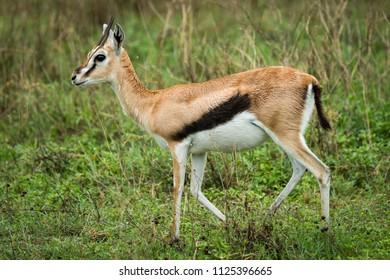 Thomson gazelle walks right-to-left through tall grass