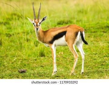 A  Thomson's gazelle bull. It is one of the best-known gazelles.