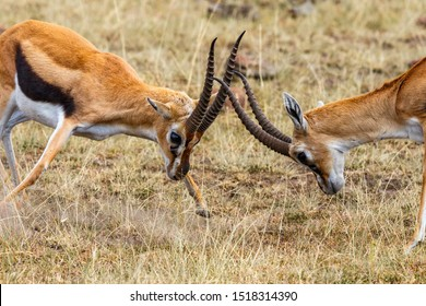 Thomson's gazelle fighting against each other