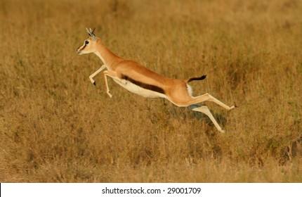 thomson's gazelle leaping