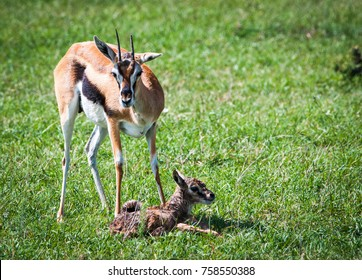 Thomson's gazelle urging her newborn child to take its first steps