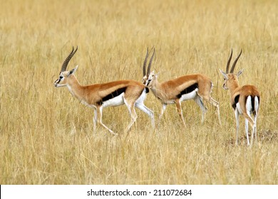 Thomson's Gazelles (Eudorcas thomsonii) on the Masai Mara National Reserve safari in southwestern Kenya.