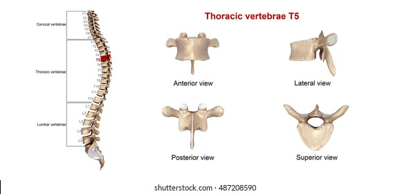 Vertebrae Images Stock Photos Vectors Shutterstock