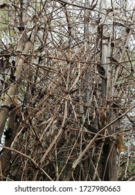 The thorn bamboo tree is popularly planted beside the fence.