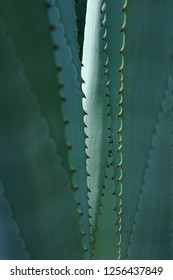 Thorn of cactus leaf background