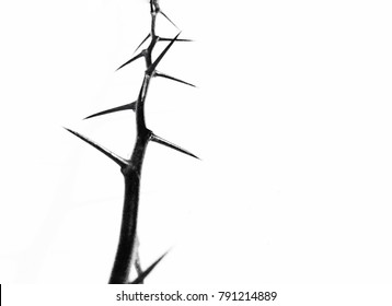 A Thorn isolated