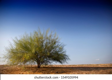 Thorn tree in an open field before sunset