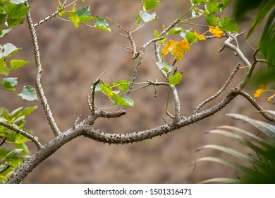 Thorned branch of a tree in a canyon in La Palma, Spain.