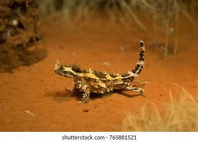 Thorned Devil on red sand in Outback