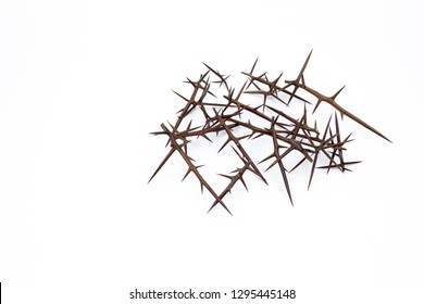 the thorns from the acacia tree on white background sharp